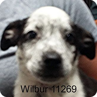 Australian Cattle Dog/Boston Terrier Mix Puppy for adoption in baltimore, Maryland - Wilbur
