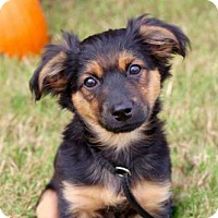 Adopt A Pet :: PUPPY HARLIE - Andover, CT