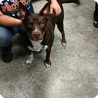 Adopt A Pet :: Brewer - Paducah, KY