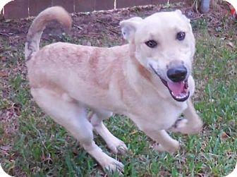Labrador Retriever/Shepherd (Unknown Type) Mix Dog for adoption in Seattle, Washington - Addie