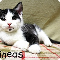 Domestic Shorthair Kitten for adoption in Taylor Mill, Kentucky - Phineas-Gotta check him out