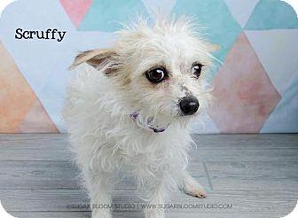 Rat Terrier Mix Dog for adoption in Denver, Colorado - Scruffy