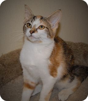 Calico Cat for adoption in Wilmington, Ohio - Rajah