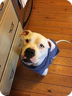 Boxer/American Bulldog Mix Dog for adoption in Centreville, Virginia - Skip - Foster needed