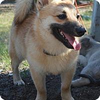 Adopt A Pet :: Foxtrot-Designer Dog - Deltona, FL