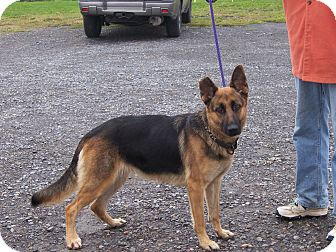 German Shepherd Dog Dog for adoption in Tully, New York - BUG