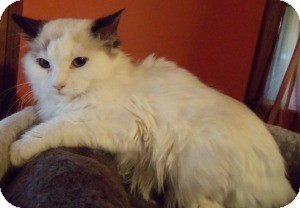 Ragdoll Kitten for adoption in Ennis, Texas - Faida
