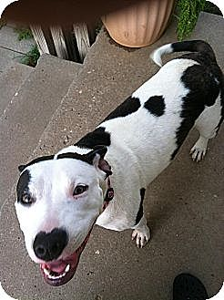 American Pit Bull Terrier Mix Dog for adoption in Blanchard, Oklahoma - Ali