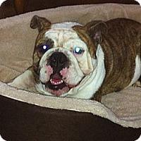 Adopt A Pet :: Guinness - Cibolo, TX