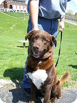 Australian Shepherd/Labrador Retriever Mix Dog for adoption in ...
