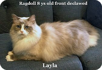 Ragdoll Cat for adoption in Bentonville, Arkansas - Layla