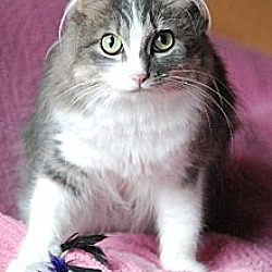 Photo 2 - Domestic Longhair Cat for adoption in Seal Beach, California - Jenny Any Dots