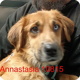 Golden Retriever/Husky Mix Dog for adoption in baltimore, Maryland - Annastasia