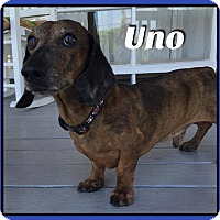 Adopt A Pet :: Uno - Green Cove Springs, FL