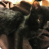 Domestic Shorthair Cat for adoption in St.Ann, Missouri - Finn