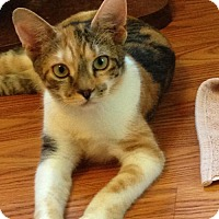 Adopt A Pet :: Chicklet - Newtown Square, PA