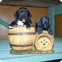 Adopt A Pet :: Ash - Oakdale, LA