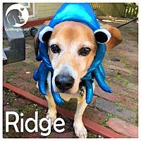 Adopt A Pet :: Ridge - Novi, MI