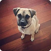 Adopt A Pet :: Joyce - Elgin, IL