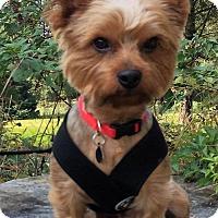 Adopt A Pet :: Samsen - Sinking Spring, PA
