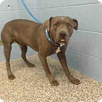 Pit Bull Terrier Mix Dog for adoption in San Bernardino, California - URGENT on 11/4 SAN BERNARDINO