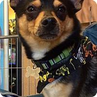 Adopt A Pet :: Ike - Phoenix, AZ