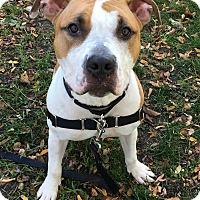 Adopt A Pet :: Boogie - Oak Park, IL