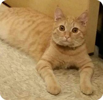 Domestic Shorthair Kitten for adoption in Brea, California - MOLLY