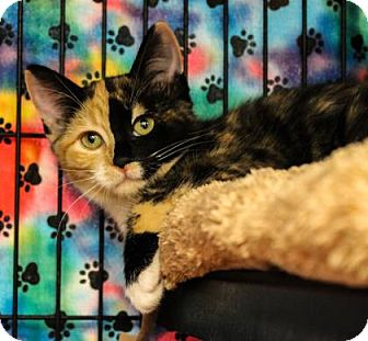 Domestic Shorthair Kitten for adoption in Morgan Hill, California - Constance