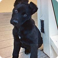 Adopt A Pet :: KOBY VON KRINGLE - Los Angeles, CA