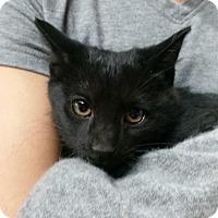 Domestic Mediumhair Kitten for adoption in Montgomery City, Missouri - Shooting Star