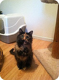 Domestic Mediumhair Cat for adoption in Los Angeles, California - Luna (bonded to Stella)