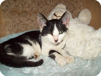 Domestic Shorthair Cat for adoption in Dover, Ohio - Pearl