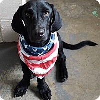 Adopt A Pet :: Brody the Bassador - Cumming, GA