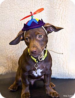 Dachshund/Rat Terrier Mix Puppy for adoption in Orange, California - Staurt Little