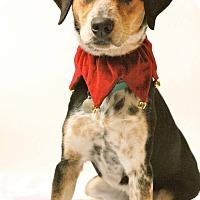 Adopt A Pet :: Juniper (Juni) - Knoxville, TN