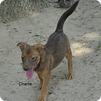 Adopt A Pet :: CHarlie in CT - East Hartford, CT