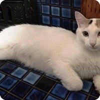 Domestic Shorthair Cat for adoption in Burlington, Ontario - Grace