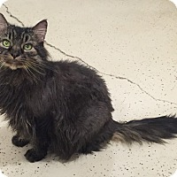 Domestic Longhair Cat for adoption in Colorado Springs, Colorado - Galaxy