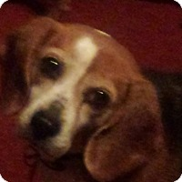 Adopt A Pet :: Jingle - Sweetest Beagle Girl! - Quentin, PA