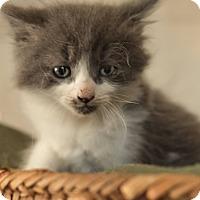 Adopt A Pet :: Kitten - Daleville, AL