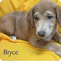 Adopt A Pet :: Bryce - Bartonsville, PA