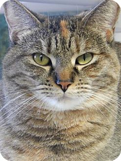 Domestic Shorthair Cat for adoption in The Dalles, Oregon - Clea