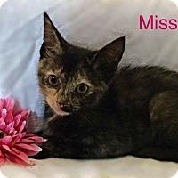Domestic Shorthair Kitten for adoption in Newport, Kentucky - Miss Bianca