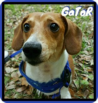 Dachshund Dog for adoption in Green Cove Springs, Florida - Gator