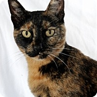Domestic Shorthair Cat for adoption in Polson, Montana - Tula