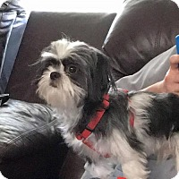 shih tzu rescue va woodbridge va shih tzu meet bentley a dog for adoption 3618