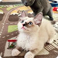 Adopt A Pet :: Asher - Sherman Oaks, CA