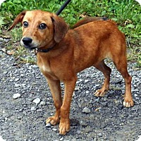 Shepherd (Unknown Type) Mix Dog for adoption in Dickson, Tennessee - Patty 8-20-16