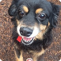 Cavalier King Charles Spaniel/Dachshund Mix Dog for adoption in Houston, Texas - Jenna